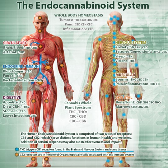 endocannabiod